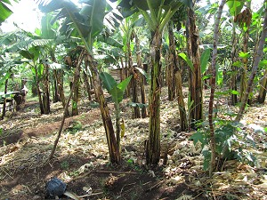Banana plantation We make Matooke out of bananas. Cook the bananas and mash them and serve with peanut sauce.