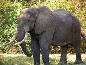 An adult elephant